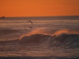 Brown Pelicans Ride Along Breaking Surf at Sunset in La Jolla