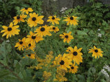 A Close View of Black-Eyed Susans
