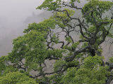 A Gnarled Oak Tree Stands in the Mist