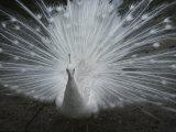 A Beautiful Albino Peacock (Pavo Species) Walks Toward the Camera Papier Photo par Paul Damien