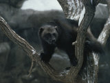 A Captive Wolverine in a Snow-Dusted Tree