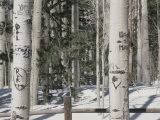 Carved Initials in the White Bark of Aspen Trees Near Flagstaff