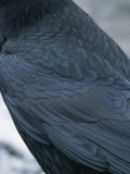 A Close View of the Back and Wing of a Raven
