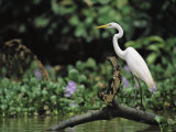 A Great Egret  Casmerodius Albus  Perches on Fallen Tree Limb