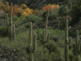 Saguaro Cacti in the San Pedro Valley