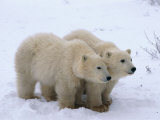 A View of Two Polar Bear Cubs Walking Across a Snowfield