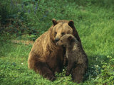 Brown Bear with Cub  Bayerischer Wald National Park  Germany