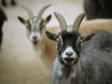 A Pair of Domestic Goats  Capra Hircus Hircus