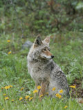 Coyote with Wildflowers