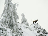 Fir Trees and Chamois in Snow  Berchtesgaden National Park  Germany