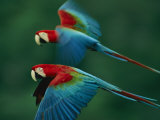A Mated Pair of Red-And-Green Macaws