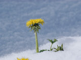 A Dandelion Pushes up Through a Late Spring Snow