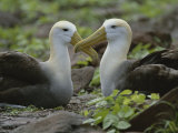 Two Waved Albatrosses Sit Facing One Another