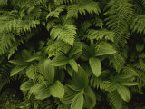 A Close View of Ferns and Hellebore