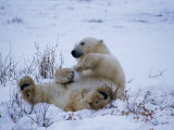 A Polar Bear Plays with a Snowball While Lying on its Back