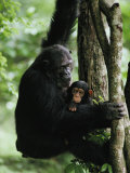 A Female Chimpanzee Climbs a Tree with Her Infant
