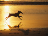 A Pet Dog Runs with a Frisbee on a Beach