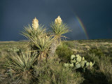 Desert Landscape with Yucca and Prickly Pear Cacti and Rainbow