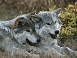 Two Gray Wolves  Canis Lupus  Rest after Playing with a Stick