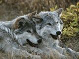 Deux loups gris, canis lupus, au repos après avoir joué avec un bâton Papier Photo par Jim And Jamie Dutcher