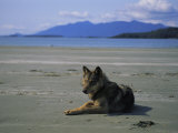 Gray Wolf on Beach