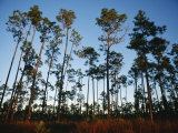 View at Sunset of Towering Pine Trees in Everglades National Park