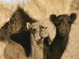 A Pair of Dromedary Camels Pose Proudly in the Sahara Desert