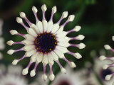A Close View of a Pink South African Daisy