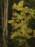 Aspens Stand Tall in This Woodlands View