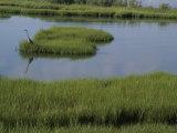 A Heron in the Marsh Near Fenwick Island  Delaware