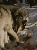 A Snarling Alpha Male Gray Wolf  Canis Lupus  Defends a Kill