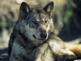 Gray Wolf