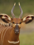 Portrait of a Bongo Antelope