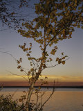 An Aspen in Fall Colors Stands in Front of a Lake at Twilight