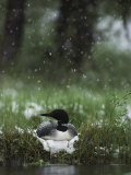 Snow Falls on a Loon Incubating its Nest