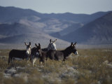 Wild Burros Descended from Those Left by Prospectors