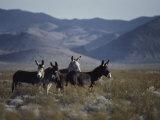 Wild Burros Descended from Those Left by Prospectors Papier Photo par Gordon Wiltsie