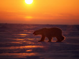 A Polar Bear is Silhouetted against the Arctic Sunset
