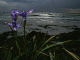 Purple Irises on Beach