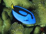 A Bright Blue Palette Surgeonfish  Paracanthurus Hepatus