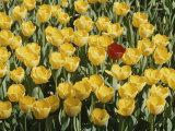 A Single Red Tulip Among Yellow Tulips