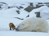 A Red Fox, Vulpes Vulpes, Noses a Polar Bear, Ursus Maritimus Papier Photo par Norbert Rosing