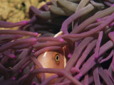 An Anemonefish Peeks out Through the Fingers of a Purple Sea Anemone