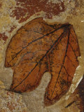 A Fossilized Sassafras Leaf