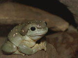 The Magnificent Tree Frog  L Splendida