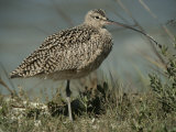 Close View of a Curlew