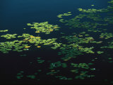 Heart-Shaped Water Lily Pads Floating on Calm Navy Blue Water