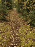 A Moss-Covered Path in a Pine Forest in Grass River Provincial Park