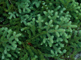 A Close View of a Balsam Fir Tree