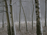 Aspen Stand in a Snowstorm Along the Bow Valley Parkway